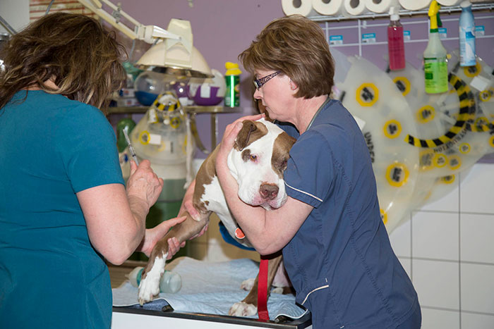 dog is prepared for an emergency procedure by his animal health technicians