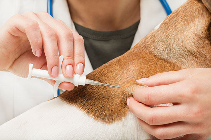 a dog has a microchip inserted by a vet at the clinic.